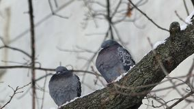 Two turtle doves sitting in a tree on a cold day. stock video