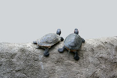 Two turtles Stock Photos