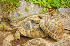 Two turtles Stock Photography