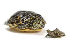 Two turtles Royalty Free Stock Image