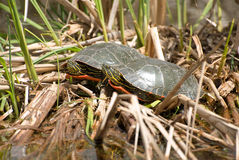 Two Turtles Stock Photo