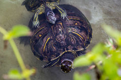 Two turtles. Turtles enjoying the water in a lake stock photos