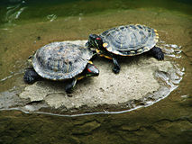 Two turtles fighting Stock Image