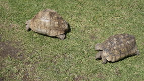 Two turtles on green grass. Two turtles on the grass Royalty Free Stock Photo