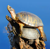 Two turtles on a log. Pacific Pond turtles that appear to be mating stock image