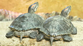 Two turtles look around stock footage