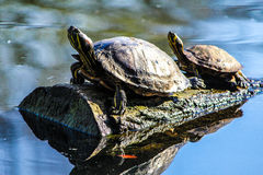 Two turtles stock images