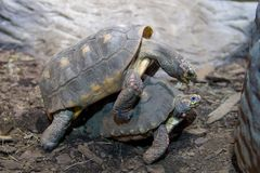 Two turtles making passionate love stock image