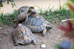 Two turtles mating Royalty Free Stock Photo