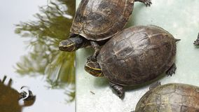 The two turtles near the water ponds royalty free stock photography