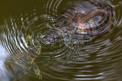 Two turtles in a pond Stock Image