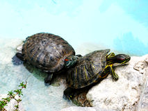 Two turtles in the pool Stock Images