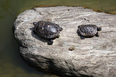Two turtles sharing a rock Royalty Free Stock Photos