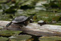 Two Turtles Sitting. Two Turtle sitting on a log in the water Royalty Free Stock Image