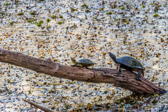 Two Turtles Straining To Soak In The Last Warm Rays Of A Setting Sun Royalty Free Stock Photography