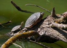 Two turtles sunbathing Stock Photography