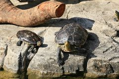 Two turtles sunbathing on a rock stock images