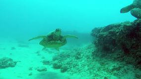 Two turtles swim towards each other stock video footage
