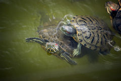 Two Turtles Stock Image