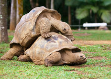 Two turtles sympathizing each other Royalty Free Stock Image
