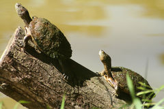 Two Turtles Royalty Free Stock Photo