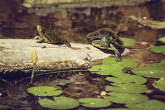 Two turtles. Two turtle in the water  in the Arboretum and Botanic gardens in Houston, Texas Royalty Free Stock Photography