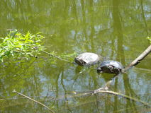 Two turtles on water in the sunshine near tree branches Stock Photo