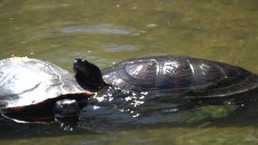 Two turtles in water stock video footage