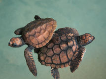 Two turtlets Stock Images