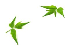 Two twigs with green leaves Stock Photo