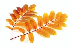 Two twigs of rowan-tree Royalty Free Stock Photography