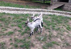 Two twin baby goats stock photo