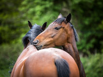 Two twin bay horses cleaning each other Stock Photo