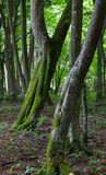Two twin slanted hornbeam trees in stand Stock Photography
