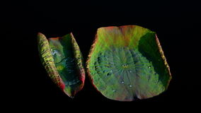Two Twisted Lotus Leaves With Water Shining In The Sun. Lotus Leaves With Water Shining, Version 7 stock video footage