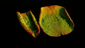 Two Twisted Lotus Leaves With Water Shining In The Sun. Lotus Leaves With Water Shining, Version 4 stock video