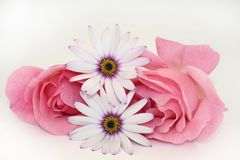 Two of two. Two pink roses with two cape daisies Royalty Free Stock Photo