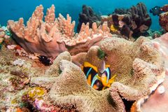 Two Twobar Anemonefish laying in their anemone. Stock Photos
