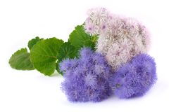 Two types ageratum Stock Images