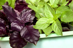 Two types of the basil greens Royalty Free Stock Photos