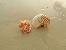 Two types of beautiful natural seashells on the sand beach in Thailand Royalty Free Stock Photography