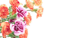 Two types carnation Stock Photography