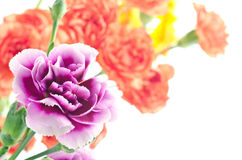 Two types carnation Royalty Free Stock Photo