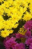 Two types of chrysanthemums Stock Photos