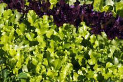 Two types of lettuce Stock Photos