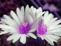 Two ultra violet flowers-twins of one cactus