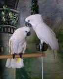 Two Umbrella Cockatoos Stock Photo