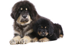 Two underlying puppy on a white background. Royalty Free Stock Photography