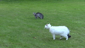 Two unfriendly cats meeting ended with escape in green park stock video