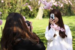 Two unidentified asian looking girls shooting photos of themselves under a blooming japanese cherry blossom tree. royalty free stock photography